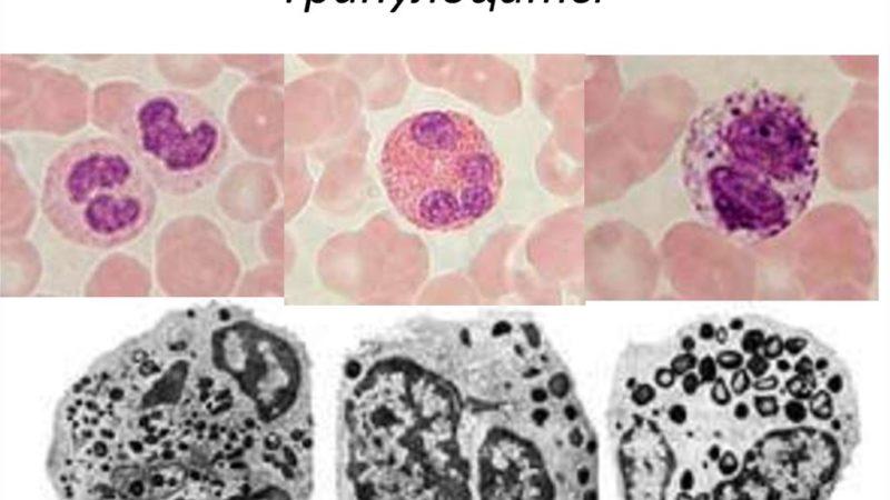 Гранулоциты в крови