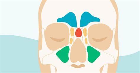 Анатомия околоносовых пазух