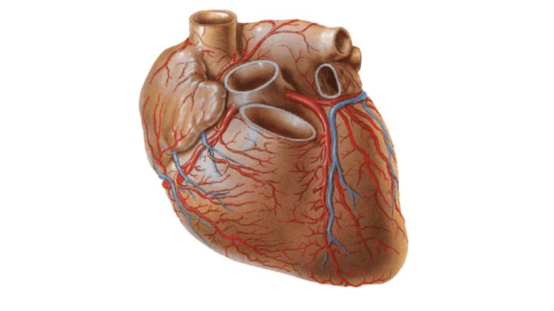 Коронарная артерия правая и левая