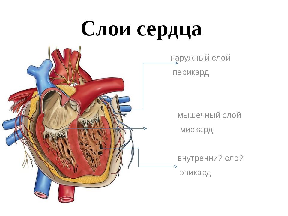 Расположение опухолей сердца