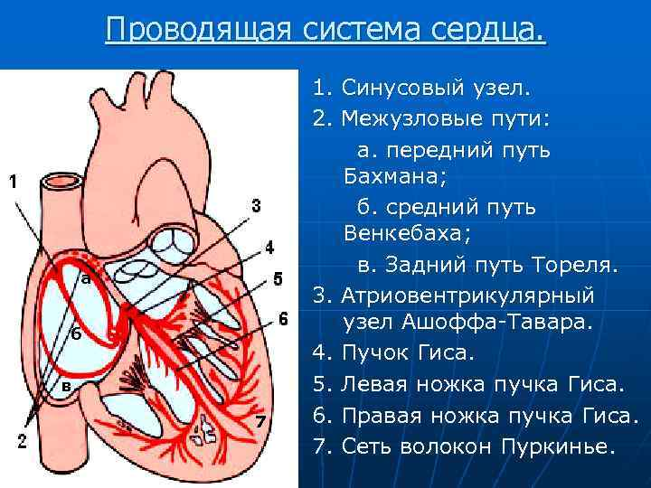 межузловые пути сердца